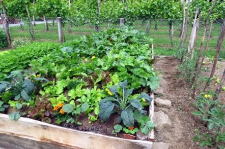 Багаторічна зелень в саду — конвеєр вітамінів без будь-якого догляду