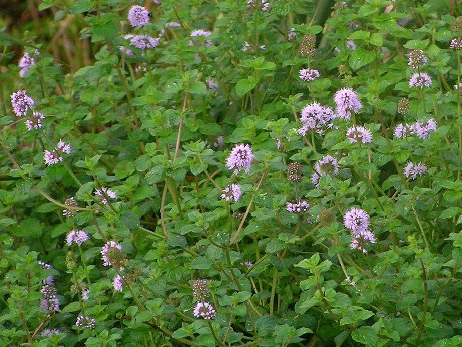 М'ята блошина, або болотна (Mentha pulegium)