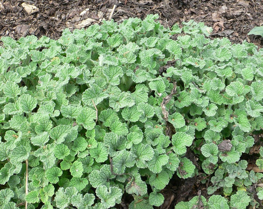 Кінська м'ята – це ніяка не м'ята, а шандра звичайна (Marrubium vulgare)