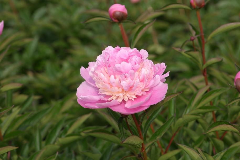 """Півонія молочноквіткова (Paeonia lactiflora), сорт """"Сорбет"""""""