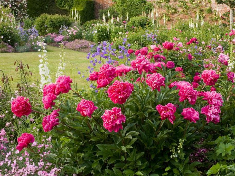 Півонія трав'яниста — посадка, догляд, використання в дизайні саду
