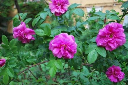 Про троянду зморшкувату, або троянду ругозу і її гібриди