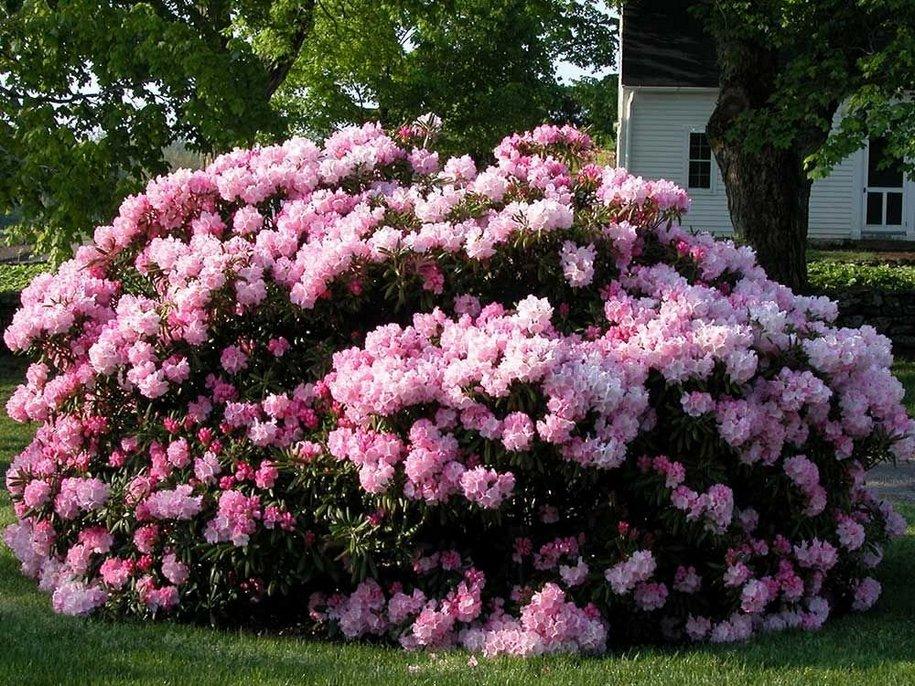 Вибір сорту рододендрону (Rhododendron) — питання смаку й стилю