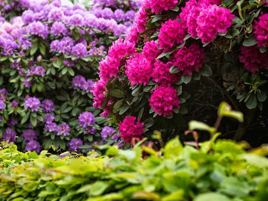 Рододендрон — правила вирощування в саду