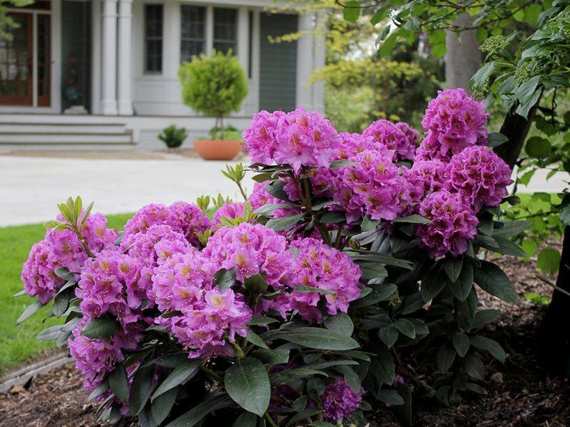 Рододендрон — рослина для напівзатінку й затишних прохолодних куточків