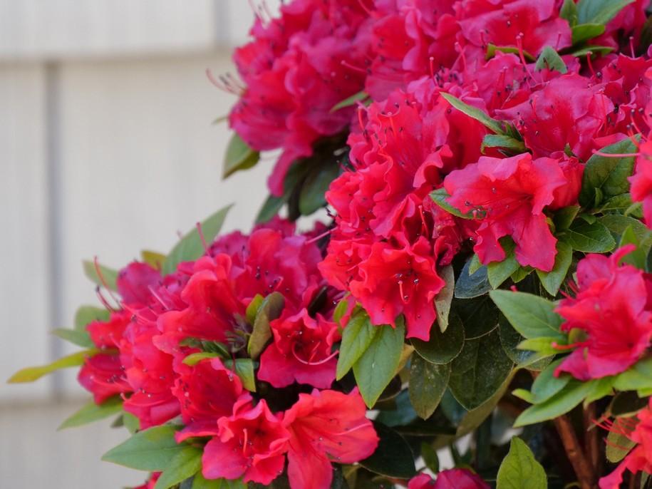 Цвітіння рододендрону
