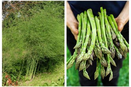 Спаржа, або Аспарагус — вирощування в українських умовах