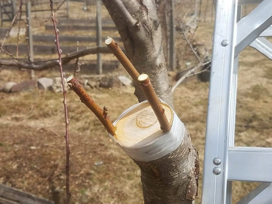 Які бувають і як проводити весняні щеплення плодових?