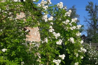 Природній вид – троянда мультифлора
