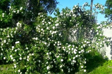 Старовинна троянда «Мадам Плонтьє»
