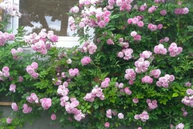 Троянда «Дороті Перкінс» влітку