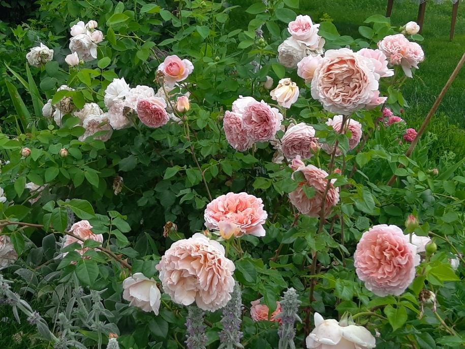 Троянда «Абрахам Дербі»