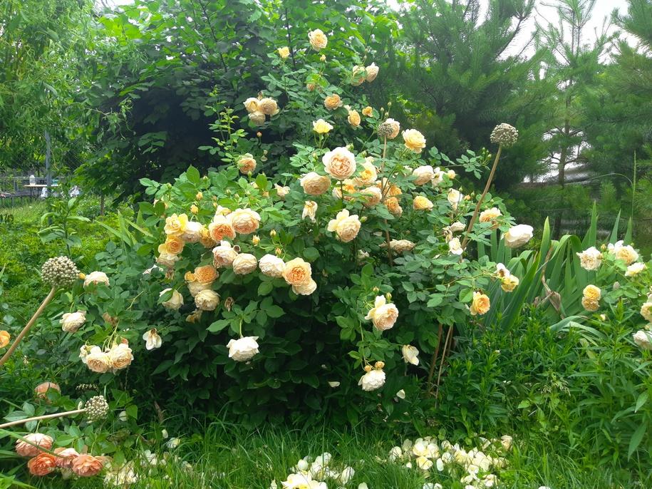 Троянда «Голден Селебрейшн»