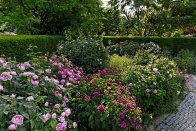 Сформовані за методом Сісінгхерст старовинні троянди – пишні, охайні кущики і кущі. Це найперші з усіх троянд, які варто формувати саме так