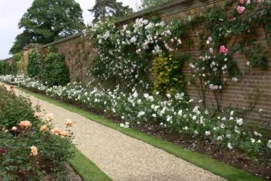 Поєднання звичайного методу обрізування троянд в квітнику і формування плетистих троянд методом Сісінгхерст (на паркані)