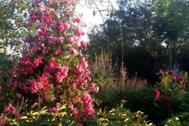 Троянда «Ексцельса» - цвітіння надобливне завжди у цього сорту