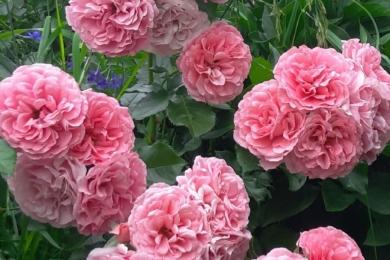 Троянда «Розаріум Ютерсен»
