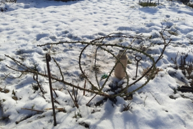 Троянда «Розаріум Ютерсен» ранньою весною