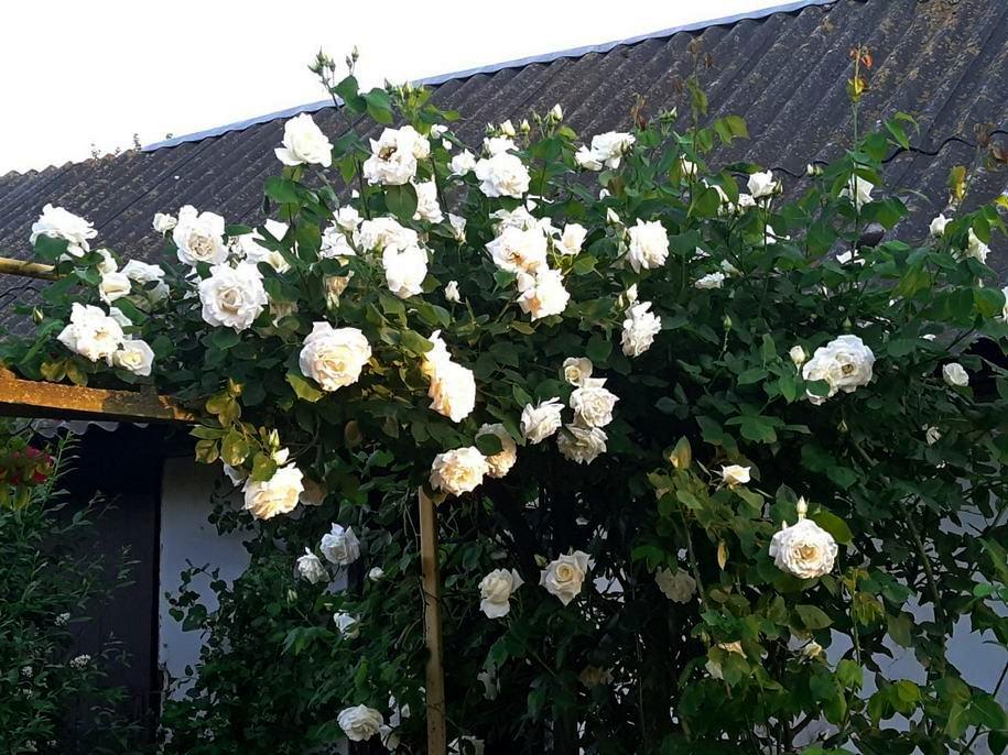 Троянда «Паулс Лемон Піллар»