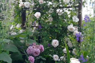 Пагони троянди «Нью Даун» закріплені мереживом на шпалері