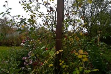 Троянда «Нью Даун» восени (в профіль)