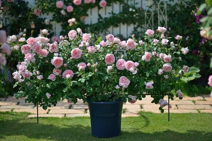 Сучасна троянда Dames de Chenonceau (Дамс де Шенонсо), сформована таким незвичним методом