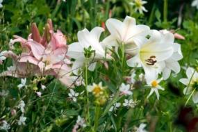Лілії в дизайні саду — вибір місця і партнерів