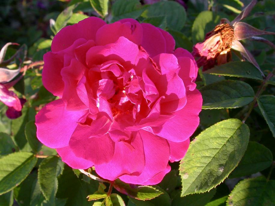 Троянда Parfum de L'Hay