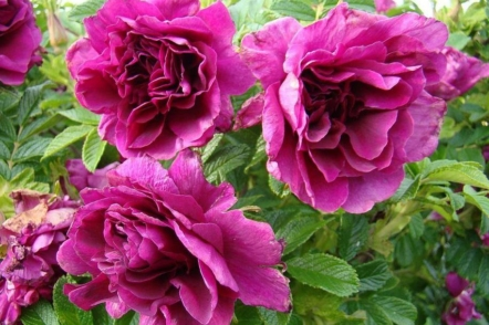 Троянда Roseraie de l'Hay