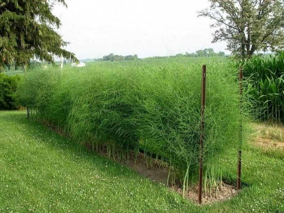 Спаржа, чи Аспарагус аптечний, звичайний, їстівний (Asparagus officinalis)