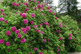 Троянди «Розре де л'Ей» та «Парфум де л'Ей» — ароматна спадщина світу ругоз