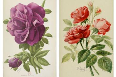 Ліворуч троянда «Розарій Л'Ея» (Roseraie de L'Haÿ), праворуч - «Парфум Л'Ея» (Rose à parfum de L'Haÿ)