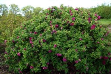 Сорт ругози «Розарій Л'Ея»вважається одним з найкращих троянд для живоплоту