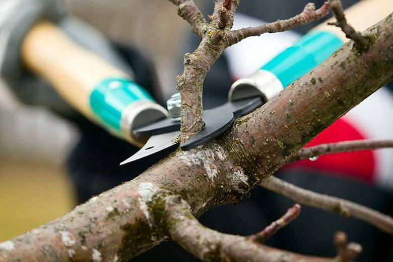 Виконувати обрізку на плодових деревах можна до початку активного сокоруху