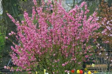Мигдаль трилопатевий (Prunus triloba)