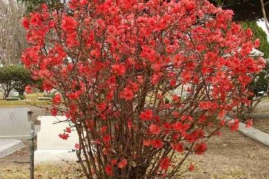 Айва японська (Chaenomeles japonica)