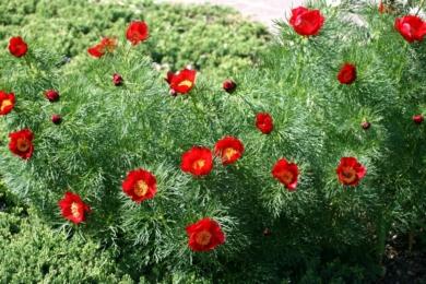 Півонія вузьколиста (Paeonia tenuifolia)