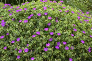 Герань кривава (Geranium sanguineum)