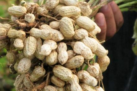 Прості правила вирощування арахісу на грядках