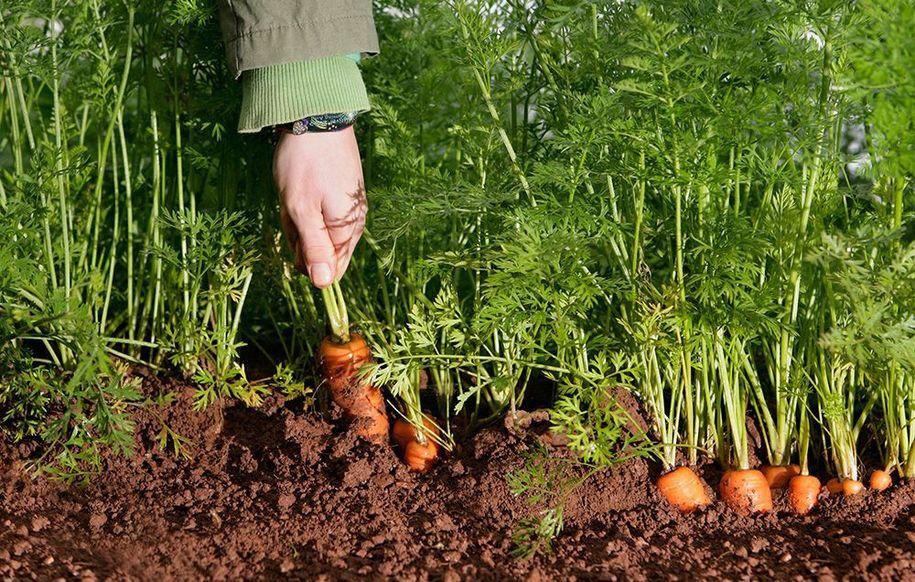 Вибірковий збір морквин на їжу можна проводити коли завгодно