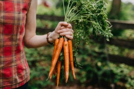 Морква — правила вирощування від посіву до врожаю