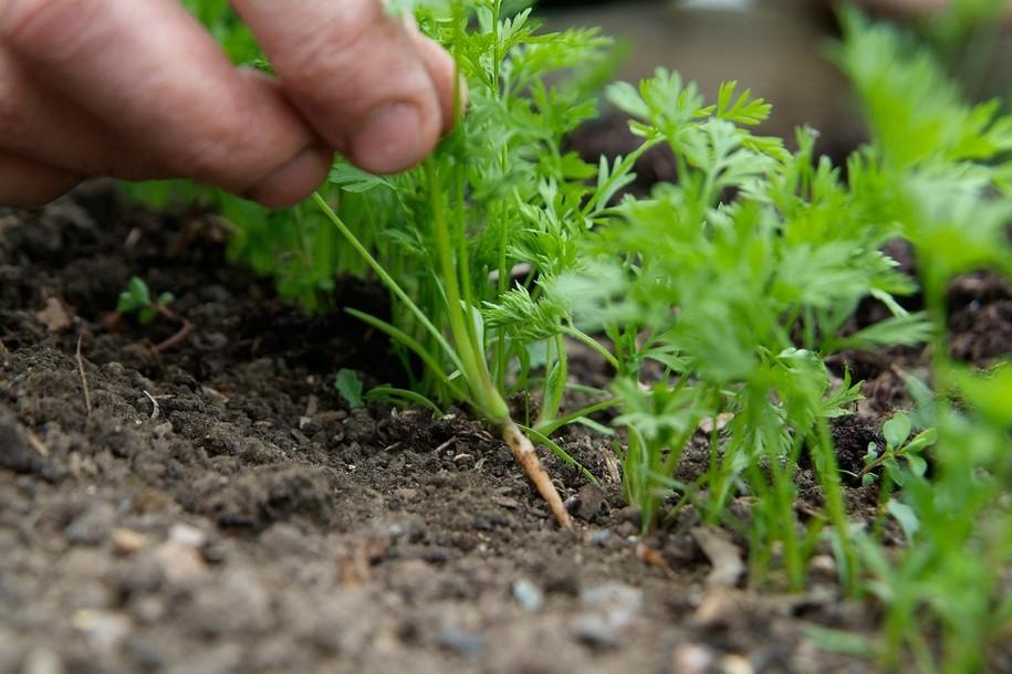 Проріджуючи моркву, рослини не розхитують, а обережно тягнуть догори