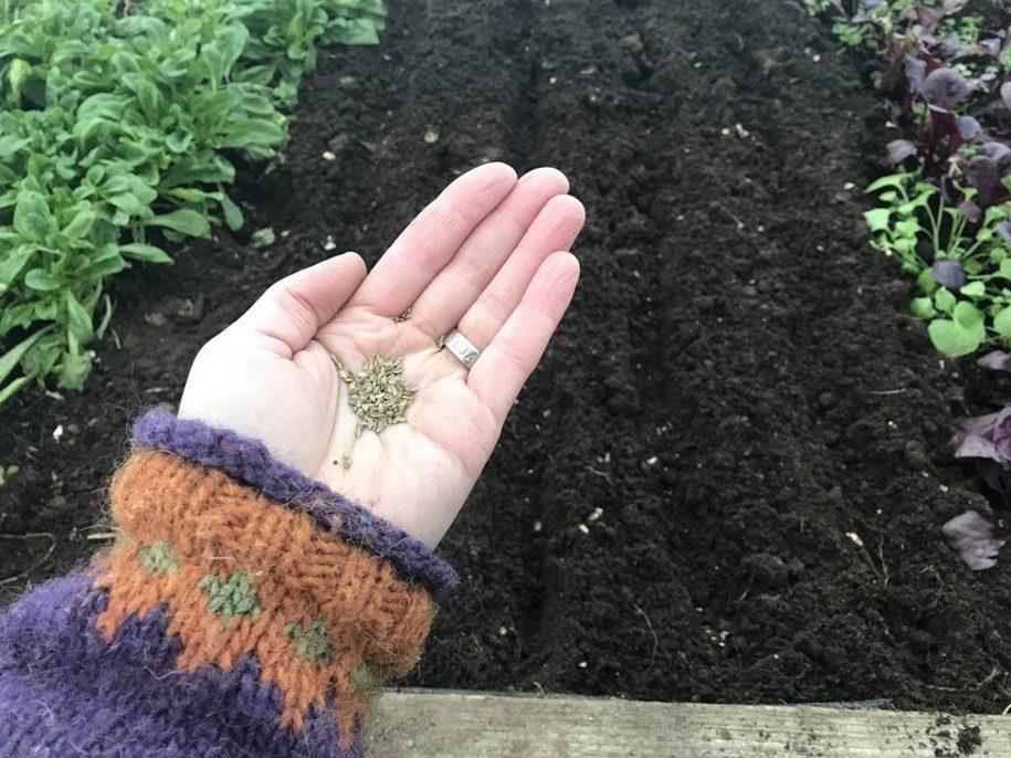 Насіння моркви сіють в неглибокі рядки