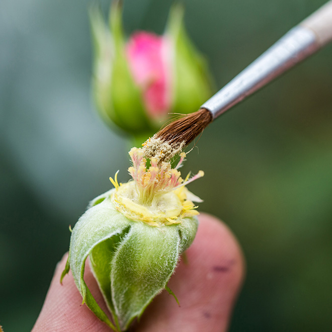 Створення кожного нового сорту троянди може зайняти до дев'яти років, і, як і більшість речей виняткової краси, може перевірити терпіння навіть самого пристрасного виробника