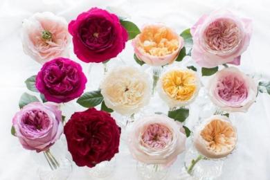 Зліва направо: верхній ряд — троянди «Чаріті», «Дарсі», «Ідіт» і «Констанс»; середній ряд — «Кейт», «Пейшнс», «Беатрес», «Міренда»; нижній ряд — «Кері», «Тесс», «Кіра», «Джулієт»