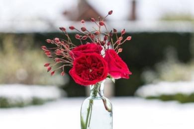 """Червоні троянди, безперечно, є одним з найбільш універсальних символів любові у всьому світі. Вони кажуть """"я люблю тебе"""" будь-якою мовою. «Тесс» завжди знаходиться вгорі рейтингу популярності троянд для вираження почуттів"""