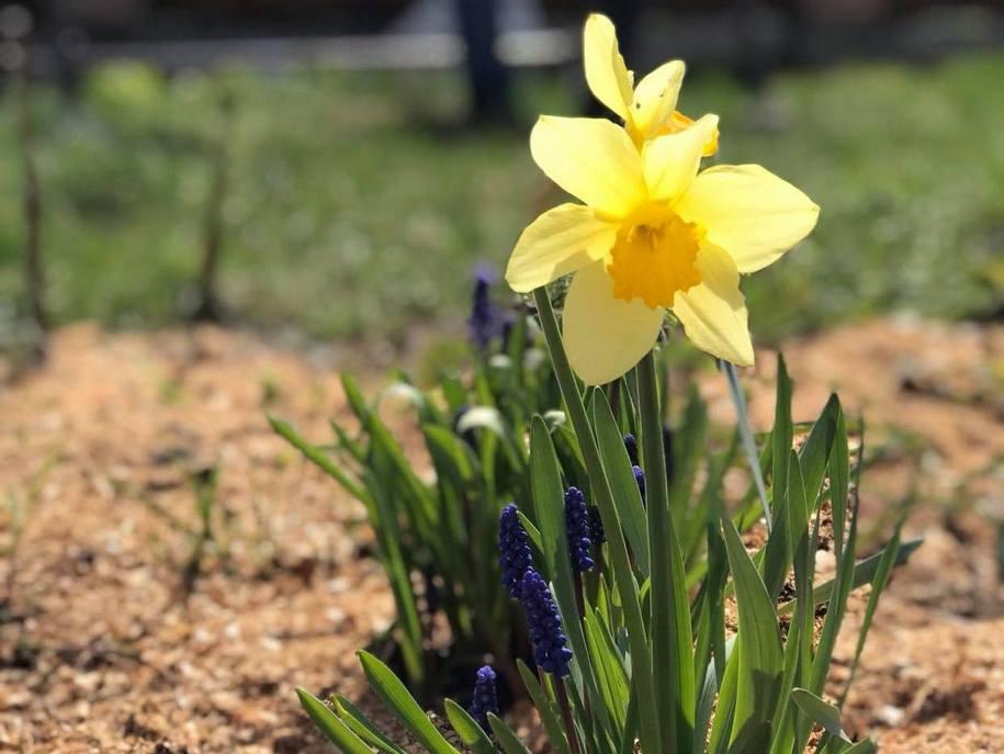 В новому саду кори сосни в мене вже нема, зате є тирса. Всі цибулинні весною садилися прямо в дерн і щедро мульчувалися тирсою