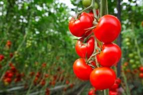 Чим підживити помідори?