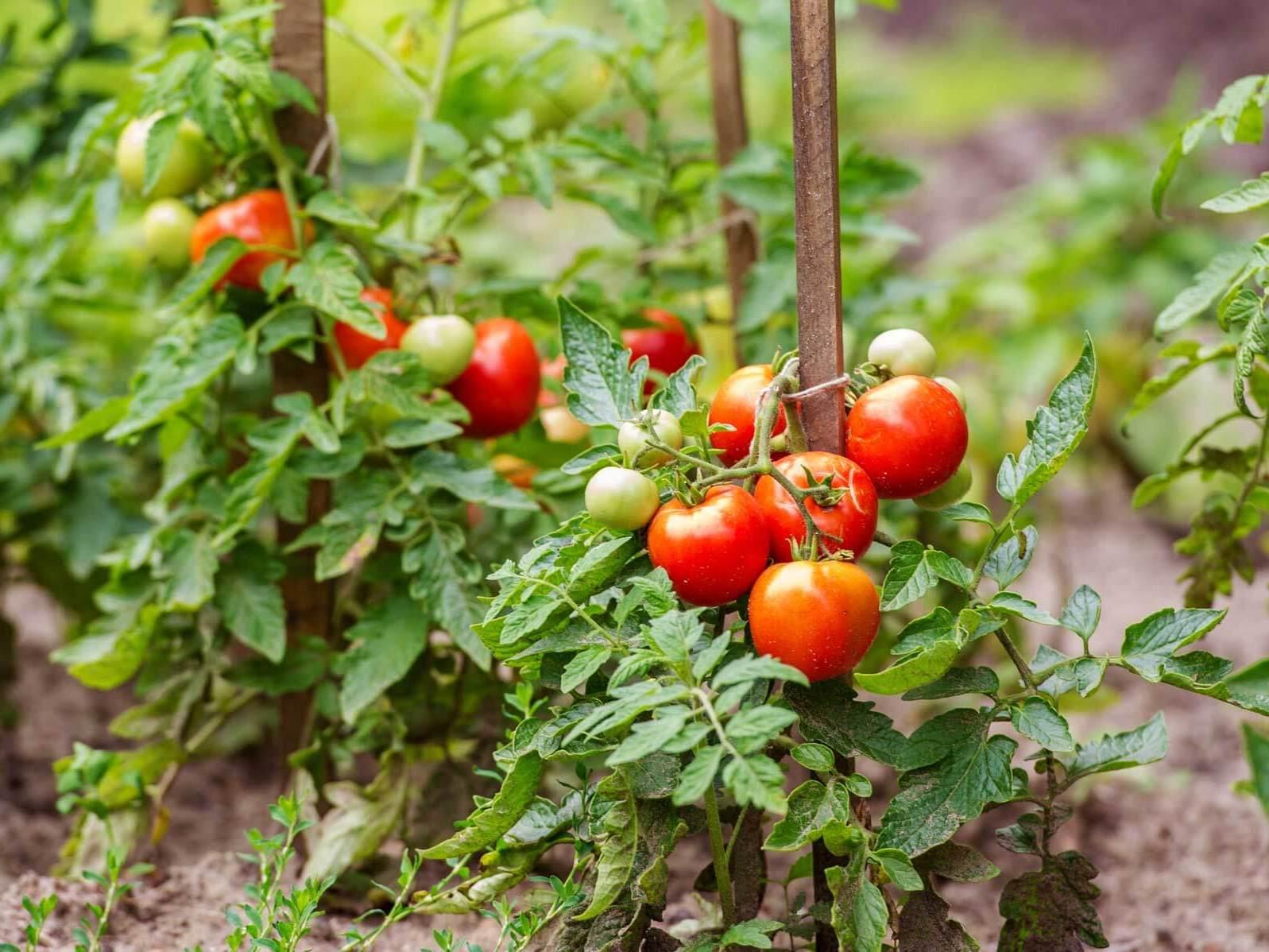 Останнє підживлення томатів проводять під час наливання перших плодів