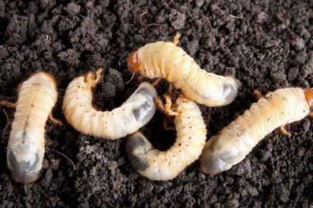 Як боротися з личинками хруща, або борозняком?